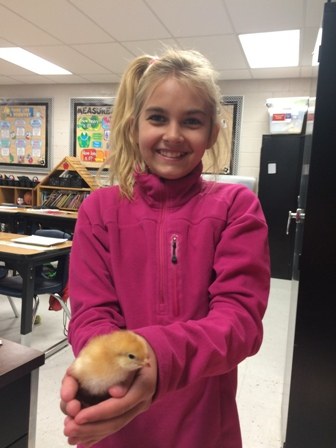 4th Grade Hatches Chickens 2015